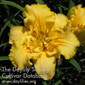 Daylily Photo - After the Riot