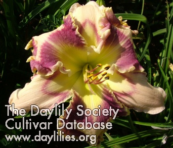Daylily Photo - Aiyana