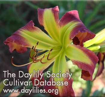 Daylily Photo - Angel In Oz
