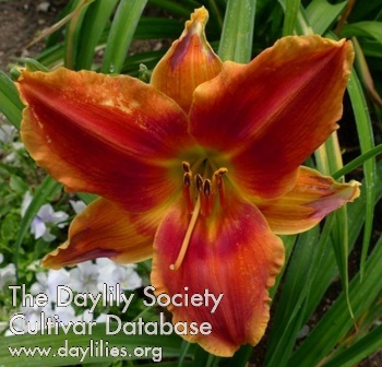 Daylily Photo - Avante Garde