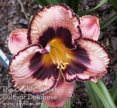 Daylily Photo - Awesome Blossom
