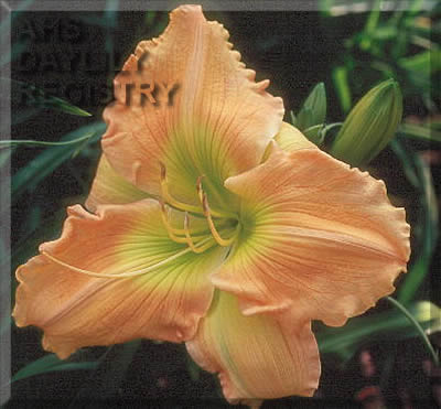 Daylily Photo - Aaron's Dinner Plate