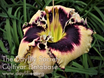 Daylily Photo - Abalone Bite