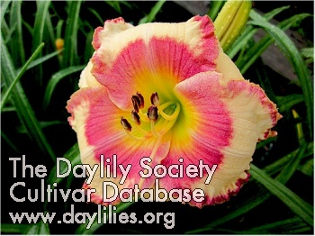 Daylily Photo - Abilene Strawberry