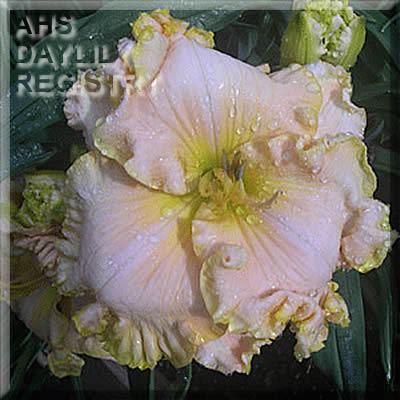 Daylily Photo - Across The Universe