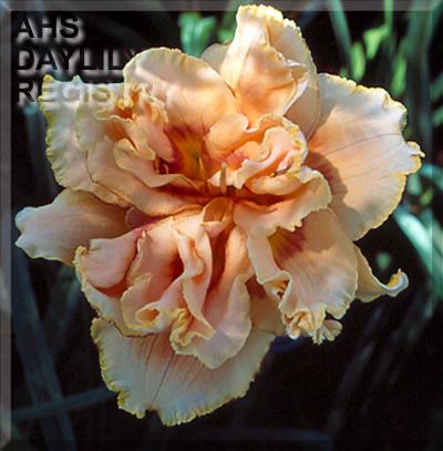 Daylily Photo - Affair D'Amour