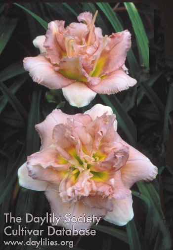 Daylily Photo - Afternoon Truffle