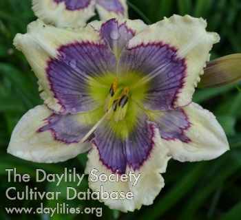 Daylily Photo - Agent of Change