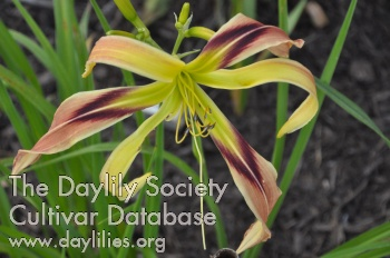 Daylily Photo - Aldersgate