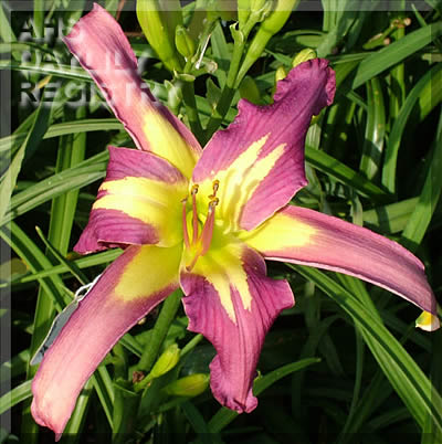 Daylily Photo - Alien Landing