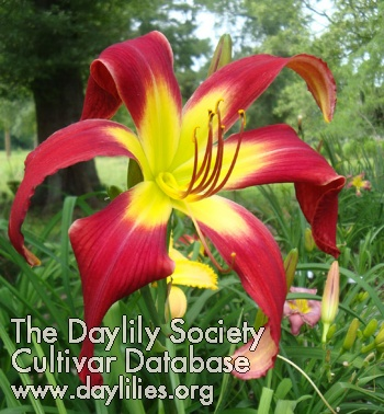 Daylily Photo - All I want for Christmas