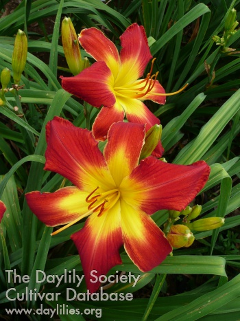 Daylily Photo - All American Chief