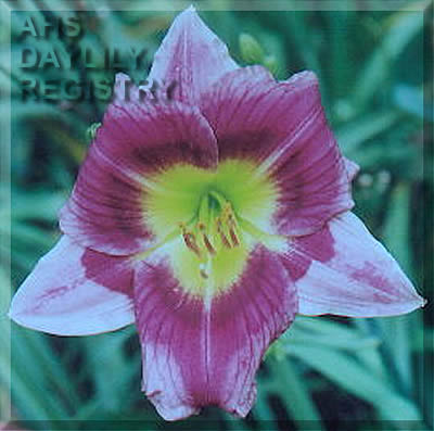 Daylily Photo - Almost A Rainbow