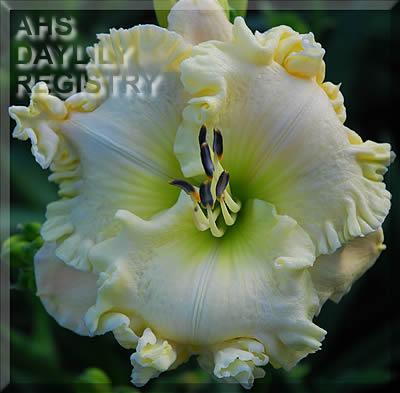 Daylily Photo - Alpine Ruffles