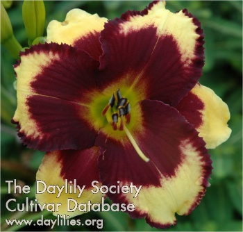 Daylily Photo - Amish Expressions