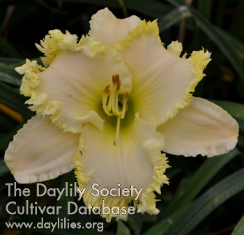 Daylily Photo - Angel Bay