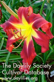 Daylily Photo - Apache Beacon