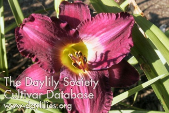 Daylily Photo - Apollodorus