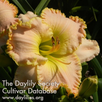 Daylily Photo - Apopka Pink Pearl
