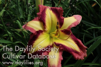 Daylily Photo - Appliqué Prism