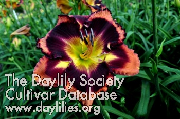 Daylily Photo - Autumn Concerto