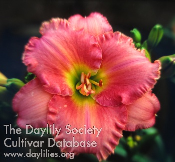 Daylily Photo - Awash With Color