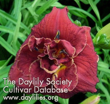 Daylily Photo - All Branched Out
