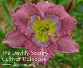 Daylily Photo - Arcane Pattern