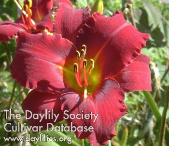 Daylily Photo - Bama Bound