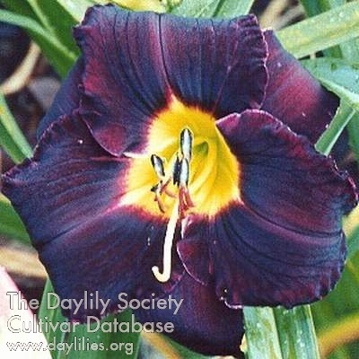 Daylily Photo - Black Ambrosia