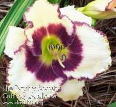Daylily Photo - Border Music