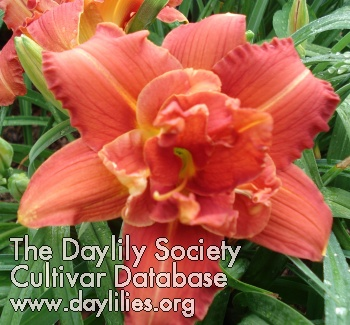 Daylily Photo - Bryce Cothern