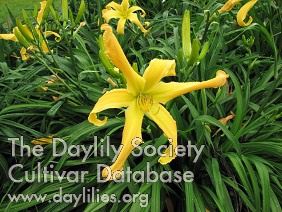 Daylily Photo - Buddy's Yellow Bird