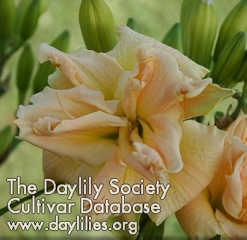 Daylily Photo - Banana Cream Cupcake
