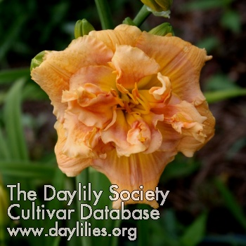 Daylily Photo - Banana Split Cupcake