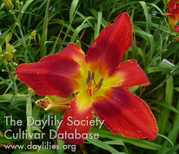 Daylily Photo - Bandito Rojo