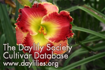 Daylily Photo - Barbara Mandrell