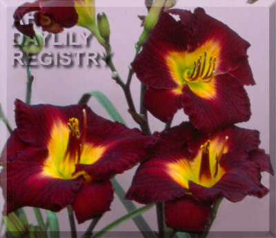 Daylily Photo - Barcelona Night