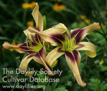 Daylily Photo - Bat Signal