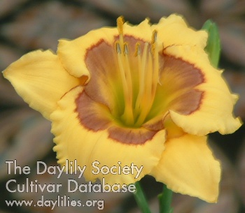Daylily Photo - Bertie
