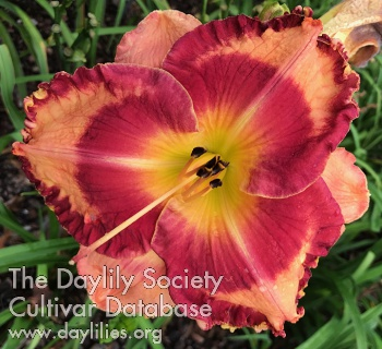 Daylily Photo - Big Bucks