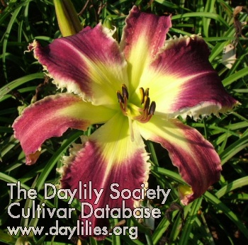 Daylily Photo - Big Bad Wolf