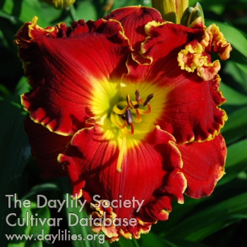 Daylily Photo - Big Red Wagon