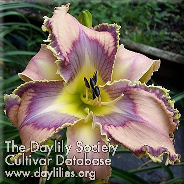 Daylily Photo - Bird Talk