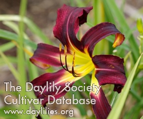 Daylily Photo - Black Ice