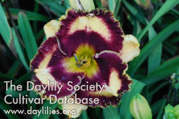 Daylily Photo - Black Parrots