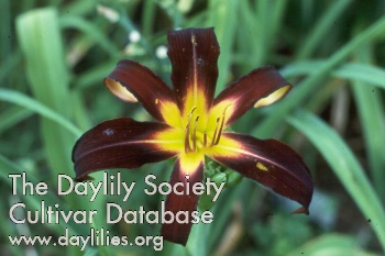 Daylily Photo - Black Plush