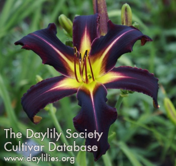 Daylily Photo - Black Panther
