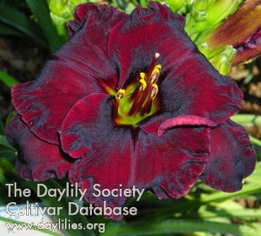 Daylily Photo - Black Velvet Baby