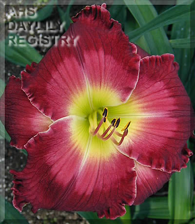 Daylily Blood, Sweat and Tears